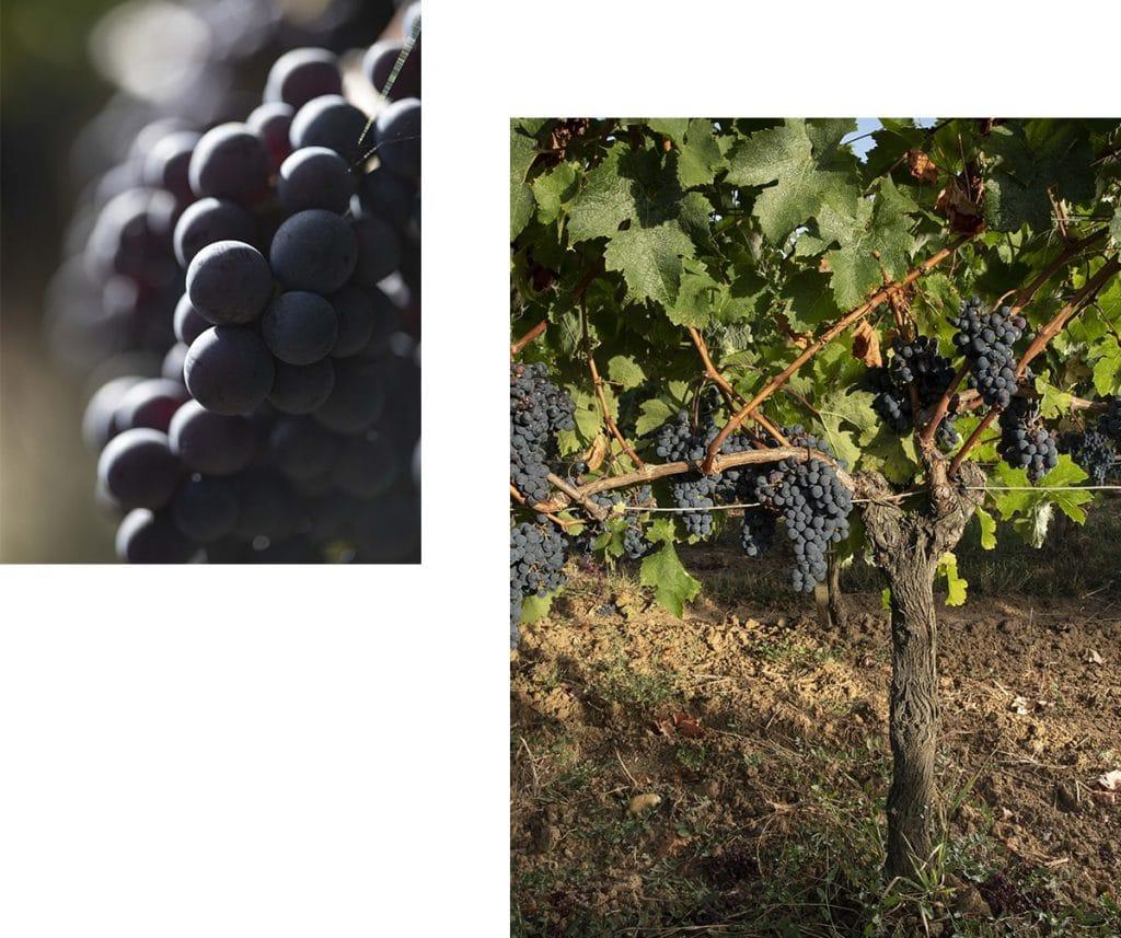 collage avec deux photos de raisin et pied de vigne