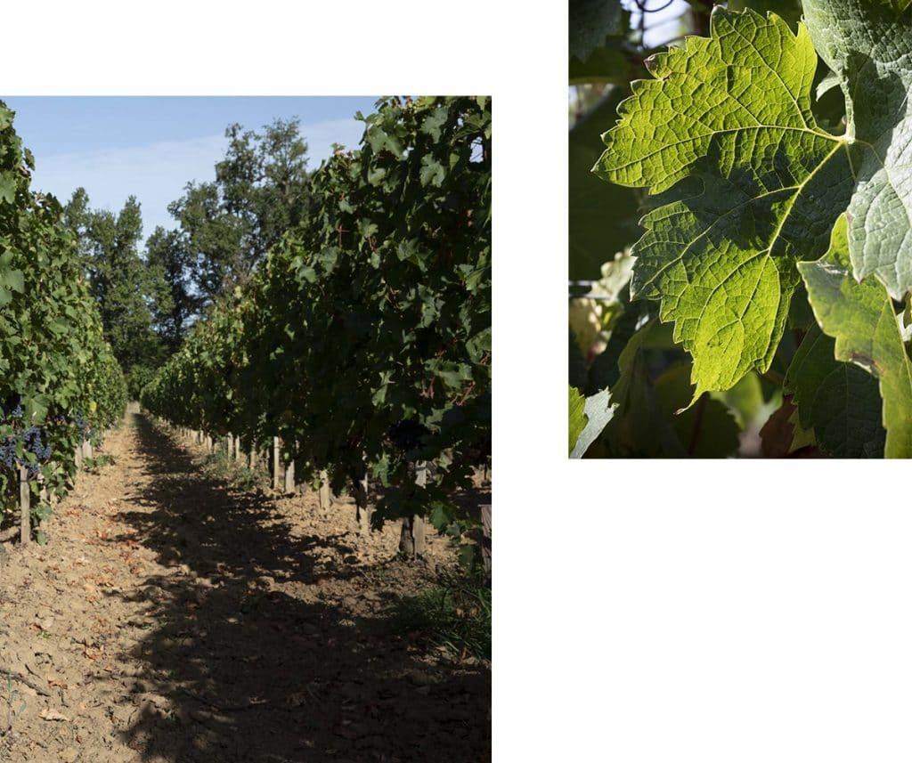 collage avec une photo de rang de vigne et une photo de feuille de merlot
