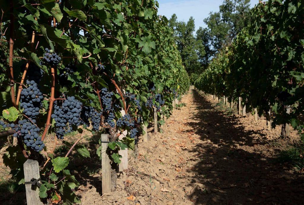 vue dun rang de vigne avec raisins